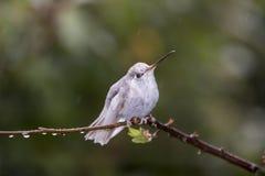 Редкие белые spectabilis Eugenes колибри Leucistic пышные в Коста-Рика стоковое фото