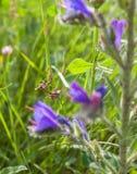 Редкие цветки пурпура насекомого Mantis Conehead Стоковые Фото