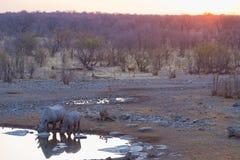 Редкие черные носороги выпивая от waterhole на заходе солнца Сафари в национальном парке Etosha, главное назначение живой природы Стоковая Фотография