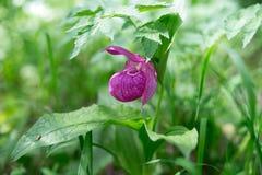 Редкий вид тапочки ` s дамы одичалых орхидей grandiflora Стоковое Изображение RF