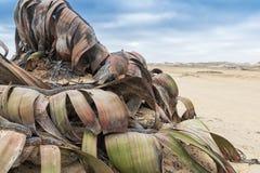 Редкий завод известный как mirabilis Вельвичии, весьма редкий учтен живущим ископаемым Пустыня, Африка, Namibe, Ангола стоковые изображения