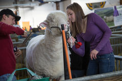 Режа овцы Стоковое фото RF