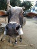 Режим potrait коровы стоковое фото rf