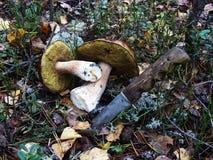 Режут с ножом и лежат 2 белых гриба на мхе Стоковая Фотография