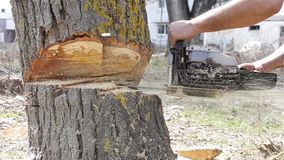 Резать большое дерево видеоматериал