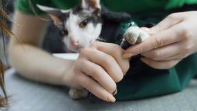 Резать длинные острые когти кота Конец-вверх лапок кота в фокусе пока закрепляющ отсутствующие длинные когти акции видеоматериалы