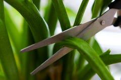 Резать зараженные лист домашнего завода заботить для отечественных заводов стоковая фотография rf