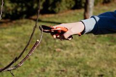 Резать о фруктовых дерев дерев стоковое фото