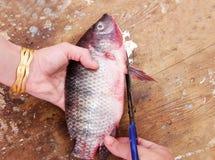 Резать сырцовых свежих рыб тилапии стоковая фотография rf