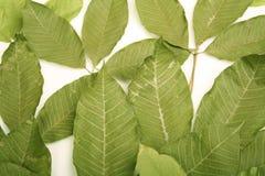 резина листьев Стоковая Фотография