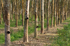 резина плантации Стоковая Фотография
