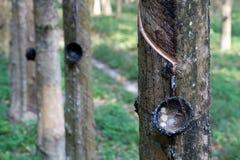 резина плантации Стоковые Фото