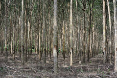 резина плантации стоковая фотография rf