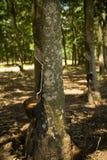 резина плантации Стоковое Изображение