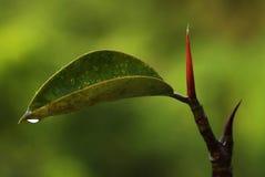 резина росы Стоковое Фото