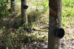 Резина trees Стоковое Изображение RF