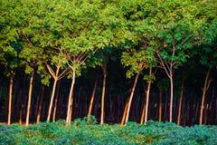 Резина trees Стоковая Фотография RF