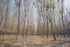Резина trees Стоковые Изображения RF