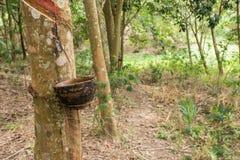 Резина trees Стоковое фото RF