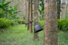 Резина trees Стоковая Фотография