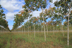Резиновая плантация, резиновые поля Стоковая Фотография