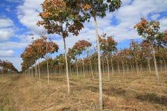 Резиновая плантация, резиновые поля Стоковые Фото