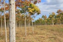 Резиновая плантация, резиновые поля Стоковые Изображения RF