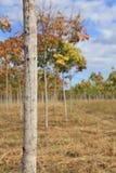 Резиновая плантация, резиновые поля Стоковое Изображение RF