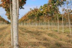 Резиновая плантация, резиновые поля Стоковая Фотография RF