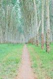 Резиновая плантация Стоковые Фото