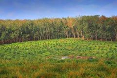Резиновая плантация Стоковые Изображения