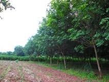 Резиновая плантация Стоковая Фотография