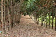 Резиновая плантация Стоковые Фотографии RF