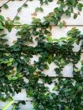 Резиновая смоква, предпосылка Стоковые Изображения RF