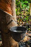 Резиновое дерево с природным каучуком в белом падении цвета молока к шару в севере Таиланда Стоковые Изображения RF