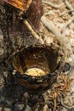 Резиновое дерево и процесс Стоковая Фотография RF