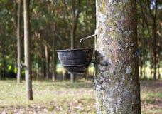 Резиновое дерево Стоковые Изображения RF
