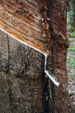 Резиновое дерево Стоковое фото RF