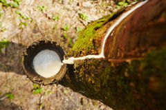 Резиновое дерево Стоковая Фотография