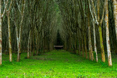 Резиновое дерево, Стоковые Изображения RF