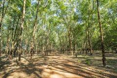 Резиновое дерево (brasiliensis), провинция гевеи Tay Ninh, Вьетнам стоковое изображение