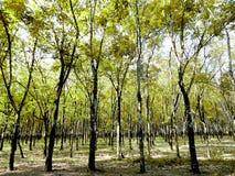 Резиновые деревья, промышленные предприятия, светолюбивые заводы стоковые изображения rf