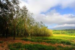Резиновые деревья Стоковые Фотографии RF