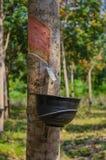 Резиновые деревья Стоковые Изображения