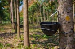 Резиновые деревья Стоковое фото RF