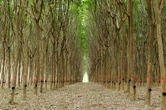 Резиновые плантации Стоковые Фотографии RF