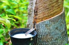 Резиновый латекс резинового дерева стоковое изображение rf