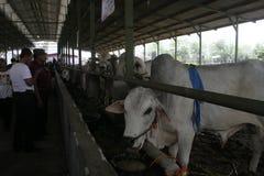 Резиденты видя мясной скота Стоковые Изображения RF