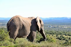 Резидент парка слона Addo Стоковое фото RF