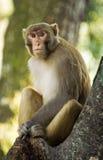 резус обезьяны одичалый Стоковые Фото